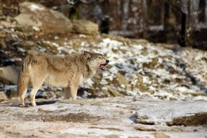 Wolf6 by Prinzess-Stock