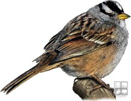 White-Crowned Sparrow by rogerdhall
