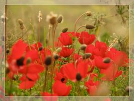 red anemones by maska13