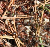 Wood ants by Xs9nake