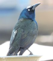 Common Grackle by Tsisqua-Ugidali