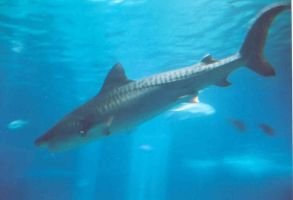 Tiger Shark by InkHeart17