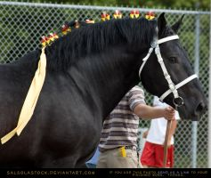 Percheron Stallion 2 by SalsolaStock