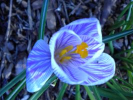 Purple Striped Crocus by DefyingIndecision