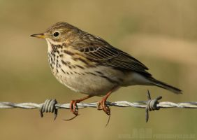 Meadow Pipit by Albi748