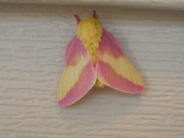 Rosy Maple Moth by KittyLove63