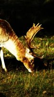 Fallow Deer by graphic-rusty