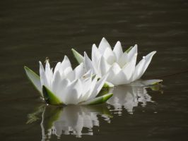 Water lilies 3 by Temansha