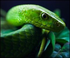 Green Mamba III by jayvoh