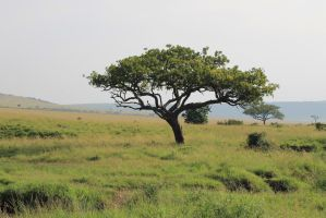 African Tree by syoul-stock