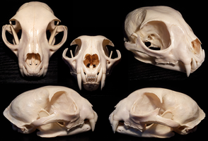 Bobcat skull by shinigami-taxidermy