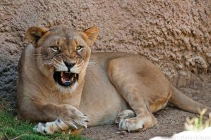 Another Cranky Lion by robbobert