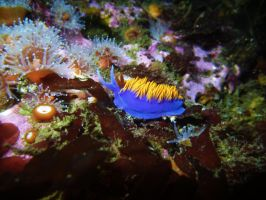 California Purple Nudibranch by silentscuba