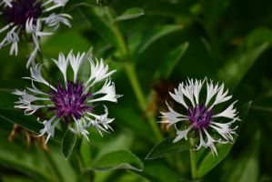 Purple and White by Gr8-Gatensby