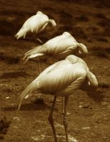 Sepia Flamingos by froggynaan