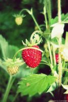 Wild strawberry by Iulia-Oprinesc