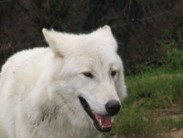 Wolfy Smile by Nikki-vdp