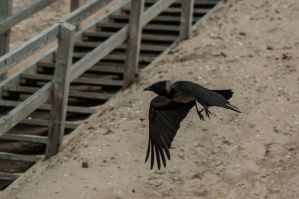 nordic crow stock 3 by VXLPhotography