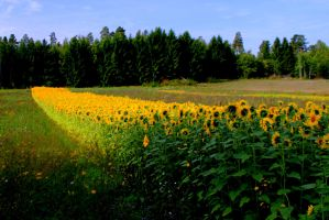 Sunflower Trail by ximocampo