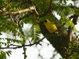 American Goldfinch June - 2014 - 23 - 1 by toshema