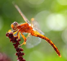 dragonfly by AnjaSchlegelmilch