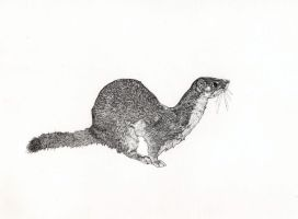 Long-tailed weasel by Cocoloy