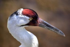 Whooping Crane by SopChoppy