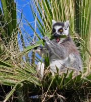 Ring Tailed Lemur I by carterr