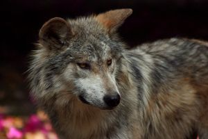 Mexican grey wolf by Ekaiaistari