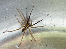 Male Wolf Spider by stormymay888
