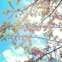 Instagram: Sakura Cherry Blossom Tree by muttiy
