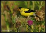 Goldfinch 6 by Ptimac