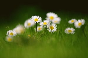 'Bellis perennis' by CID228