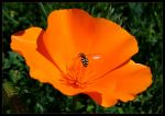 Untitled - Hover Fly and Poppy by killachowmein