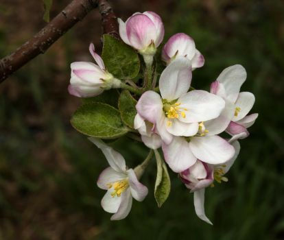 Apple Blossoms by muffet1