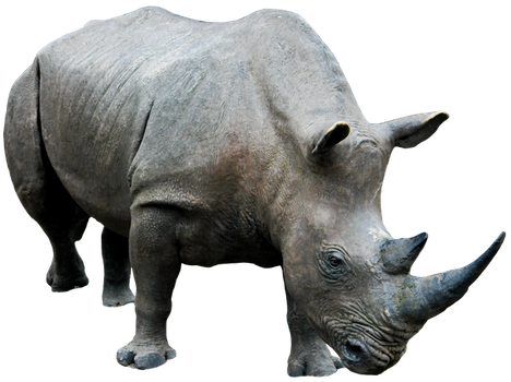 Rhino 03 By Gd08 by gd08