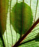 Abstract Leaf by ozplasmic