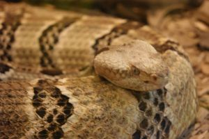 Rattler by WoodenOx