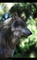 GreyWolf by DesmondBand