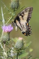 Eastern Tiger Swallowtail 2 by CASPER1830