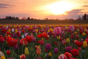 Tulip Fields, Oregon Sunset by pyro303