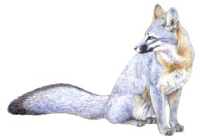 Gray Fox by silvercrossfox