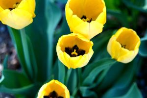 Tulips by Snoopy10