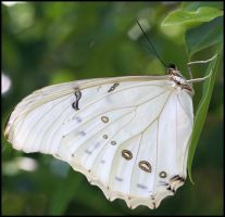 White Morpho by craftworker