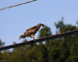Young redtail-5 by leafandlightning