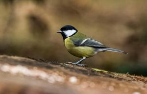 Great tit (Parus major) by luka567