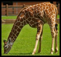 Baby Giraffe by DeadlyDonna
