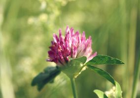 red clover by cloe-patra