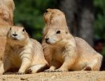 Prairie Dogs by DragonHaven42