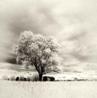 White Tree infrared by MichiLauke